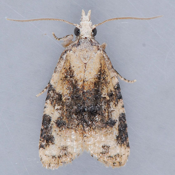 Unidentified  - Platynota exasperatana - male