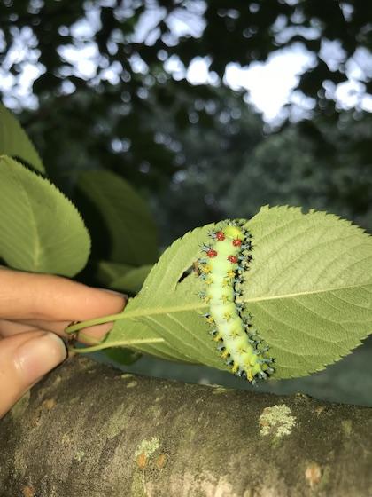 Cecropia caterpillar? - Hyalophora cecropia