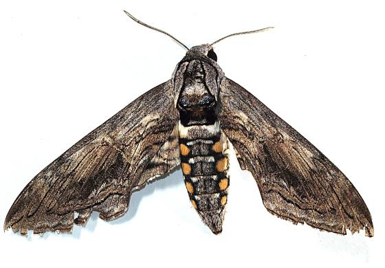 Moth to black light - Manduca quinquemaculatus