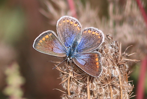 Blue Butterfly– Common Blue? - Polyommatus icarus - female