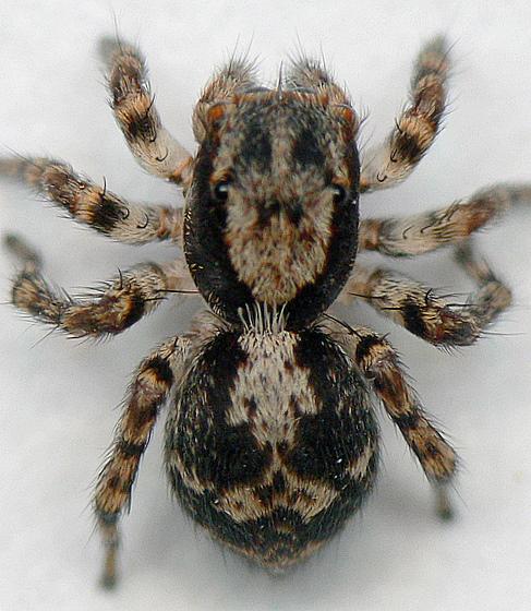 Naphrys pulex (Habrocestum pulex) - Naphrys pulex - female