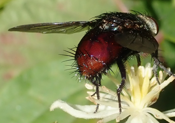 Unknown fly - Archytas metallicus - female