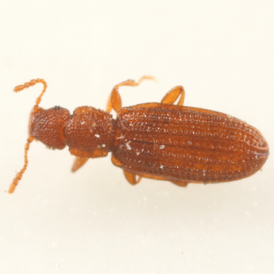 Little brown beetle - Dienerella pilifera