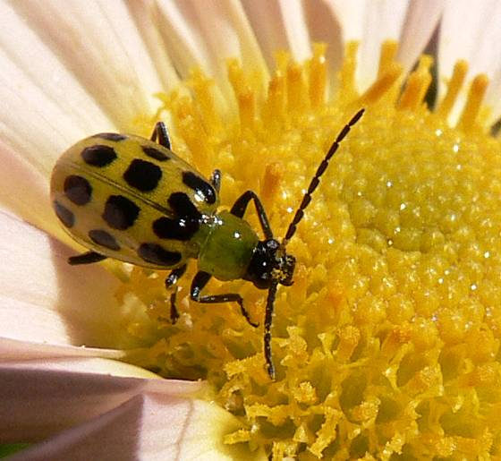 Black-spotted Yellow Beetle - Diabrotica undecimpunctata
