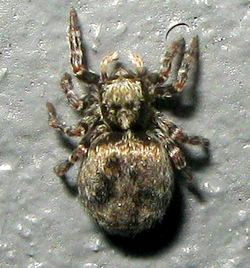 Jumping Spider - Pseudeuophrys erratica - female