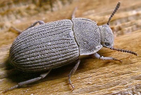 darkling - Blapstinus sulcatus