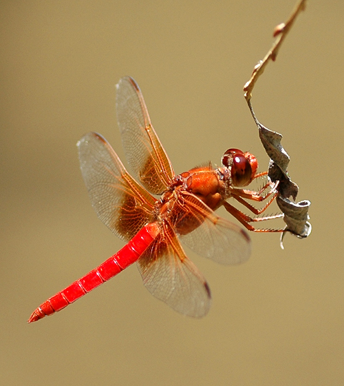 Libellula croceipennis - male