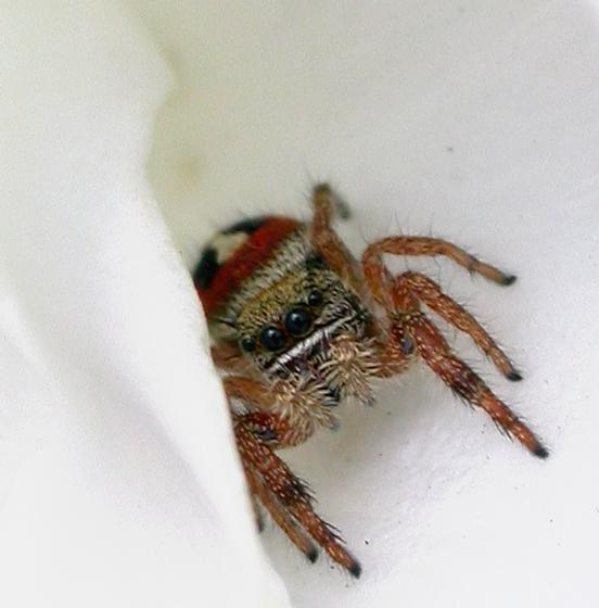 ID for California Salticidae? - Phidippus