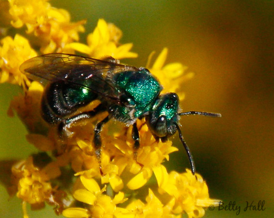 green sweat bee 10-04-13 - Augochloropsis metallica