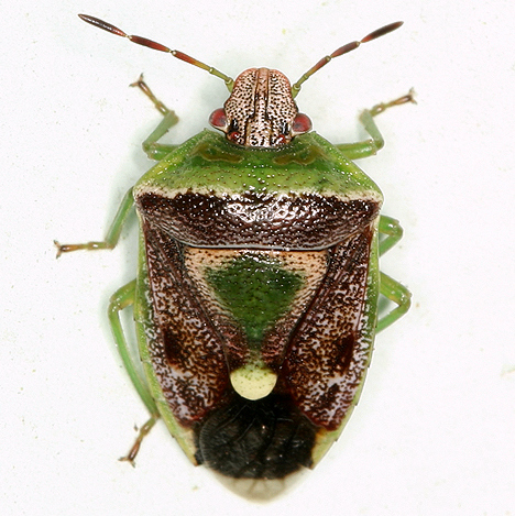 green and brown stink bug - Banasa dimidiata