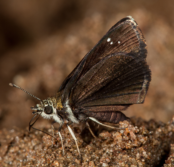 Common Sootywing? - Pholisora catullus