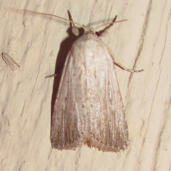 Fine-lined Sallow, #10033 - Catabena lineolata