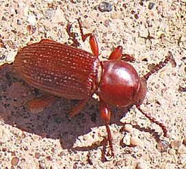 Red Beetle - Argoporis