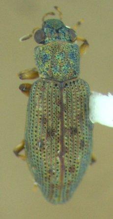 Beetle - Hydrochus