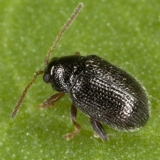 Beetle IMG_1979 - Epitrix cucumeris
