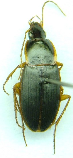 Calathus - Calathus opaculus