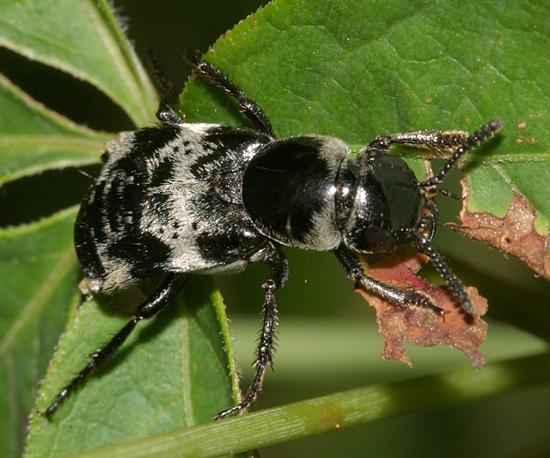Rove Beetle - Creophilus maxillosus