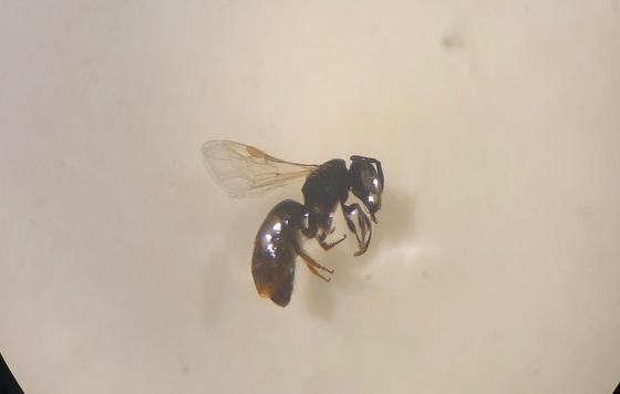 Unknown Wasp - Lasioglossum