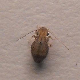 barklouse - Cerobasis guestfalica