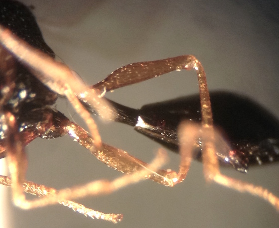 Pseudochalcura gibbosa - male