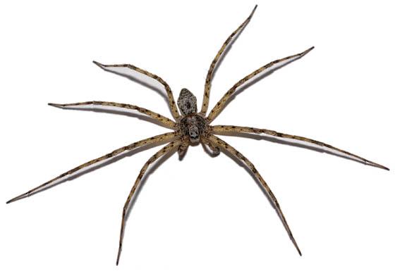Flat Spider - Philodromus - male