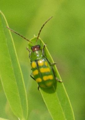 Yellow and Green Leaf Beetle - Diabrotica balteata
