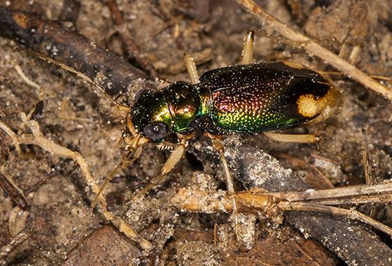 Carolina Metallic Tiger Beetle - Tetracha carolina