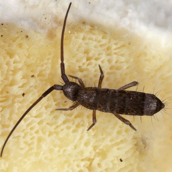Springtail IMG_2070 - Pogonognathellus