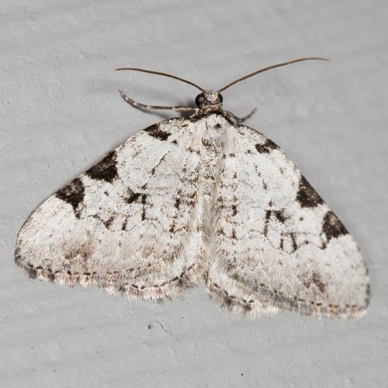 Geometrid moth - Perizoma costiguttata