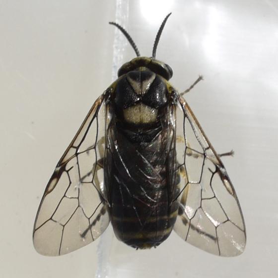 sawfly - Gilpinia hercyniae