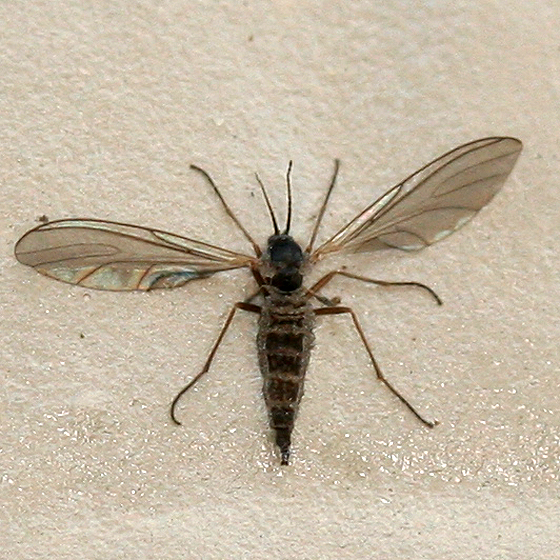 how to catch fungus gnats