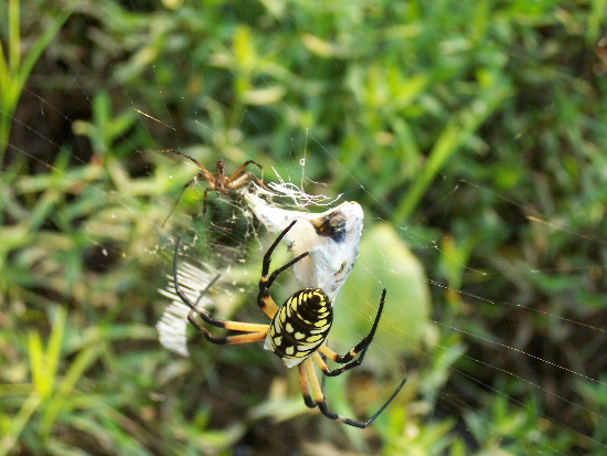 Orb weaver - Argiope aurantia - male - female