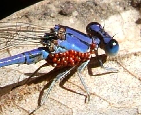 Water Mite Larvae on Damselfly - Arrenurus