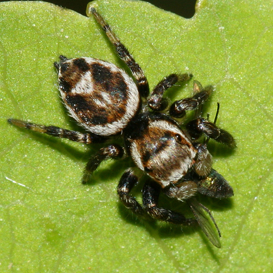jumping spider - Evarcha hoyi - male