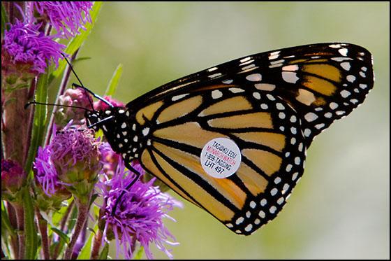 Tagged Monarch Butterfly (Danaus plexippus) - Danaus plexippus - female