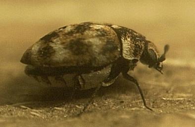 Beetle - Anthrenus verbasci