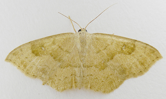 Moth - Semaeopus gracilata