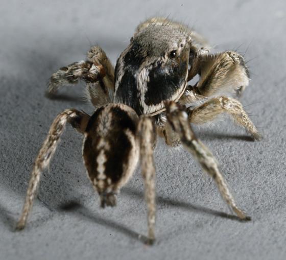 Salticidae - Habronattus festus - male