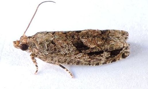 Pennsylvania Moth - Gretchena concitatricana