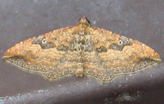 The Gem - Orthonama obstipata - male