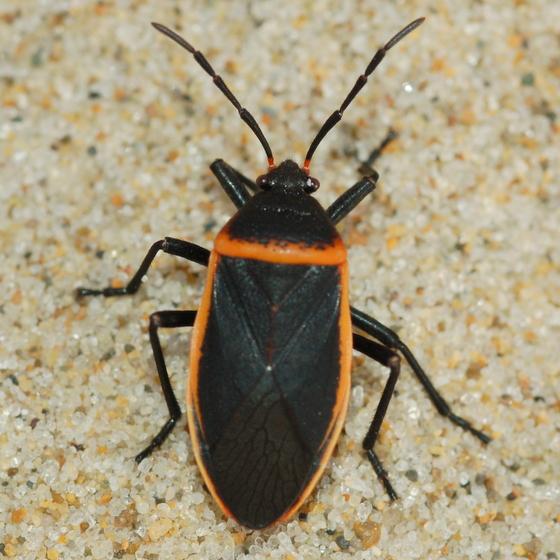 black orange bug largus bugguide net. Black Bedroom Furniture Sets. Home Design Ideas