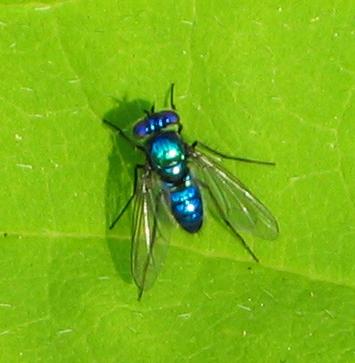 Blue Fly - Condylostylus mundus