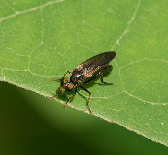 Wasp mimicing fly?