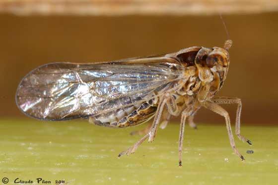 Planthopper - Sogatella kolophon