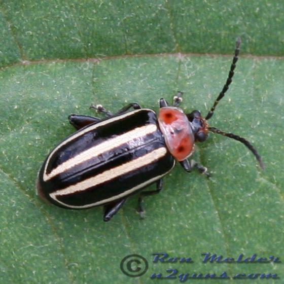 Pigweed Flea Beetle 02 - Disonycha glabrata