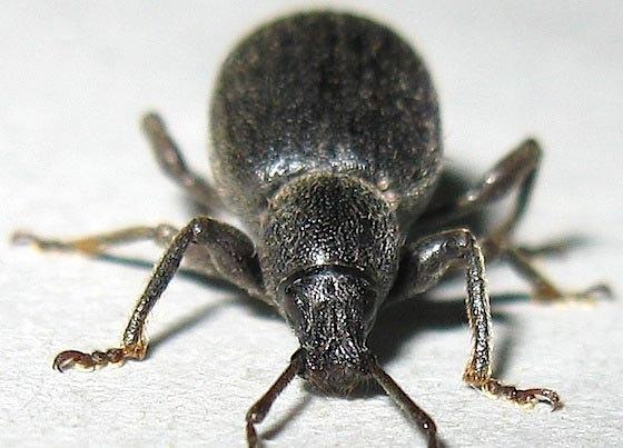 Lilac Root Weevil - Otiorhynchus meridionalis