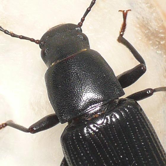 Darkling beetle (4) - Xylopinus saperdoides