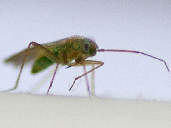 Plant Bug - Asciodema obsoleta