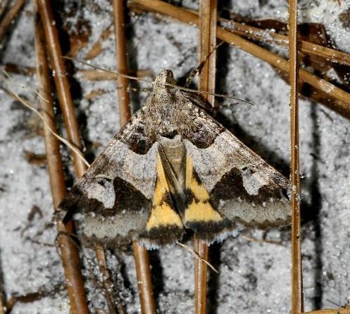Graphic Moth? - Drasteria graphica