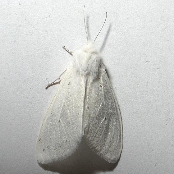 2nd Moth - Spilosoma congrua - female